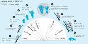 Life_Cycle_of_Lice